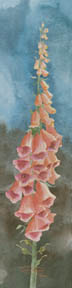 Apricot Foxglove (watercolor, prints, note card, ACEO)