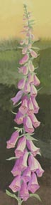 Pink Foxglove (watercolor, prints, note card, ACEO)