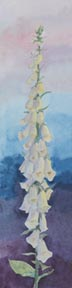 White Foxglove (watercolor, prints, note card, ACEO)