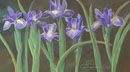 A Line Of Irises (pastel, prints on paper and canvas)
