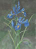 Blue Iris (watercolor, prints on paper and canvas)
