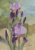 Two Toned Purple Iris (watercolor, prints on paper and canvas)