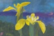 Wild Yellow Iris (gouache, prints, note card)