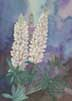 White Lupine (watercolor, prints, note card, ACEO)