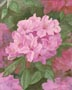Pink Rhododendrons (watercolor, prints, note card)