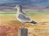 Ring-Billed Gull (gouache, prints, note card)