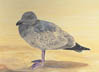 Young Gull (gouache, print, note card)