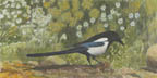 Magpie Majesty (gouache, prints, note card)