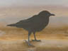 Young Crow (pastel, prints, note card, ACEO, magnet)